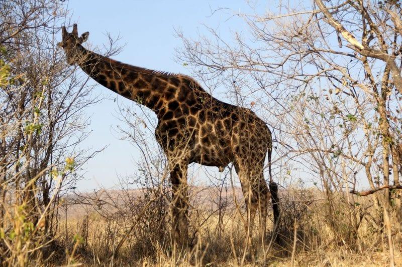 Safari Südafrika Giraffe