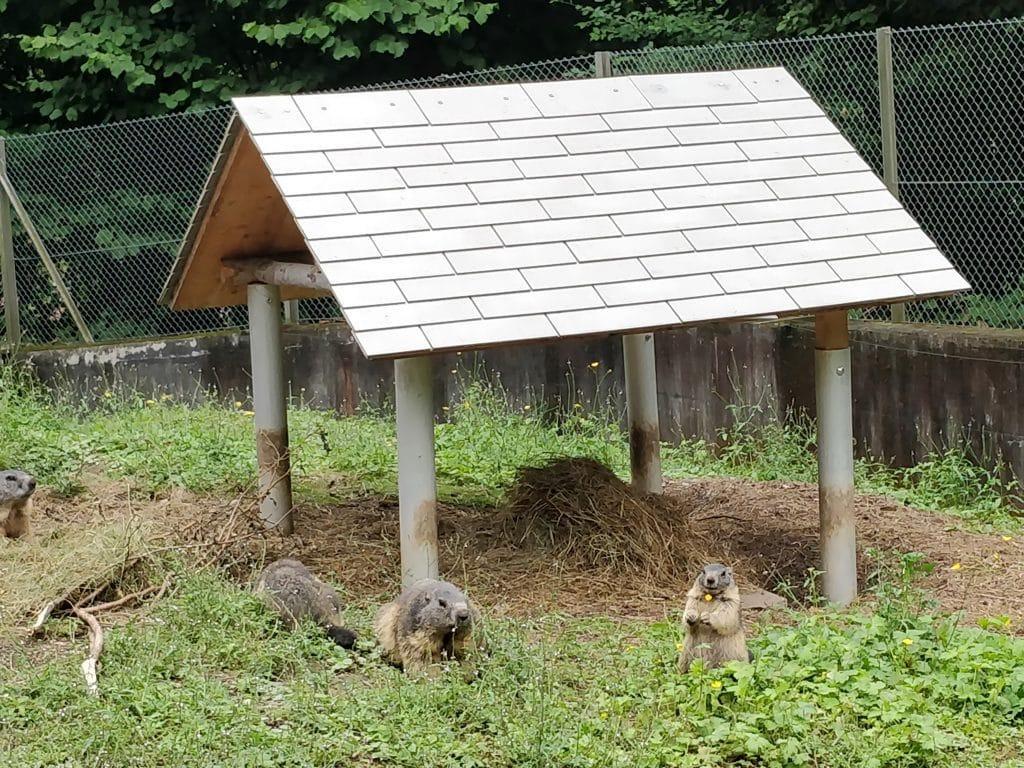 Interlaken Zoo Murmeltiere 4