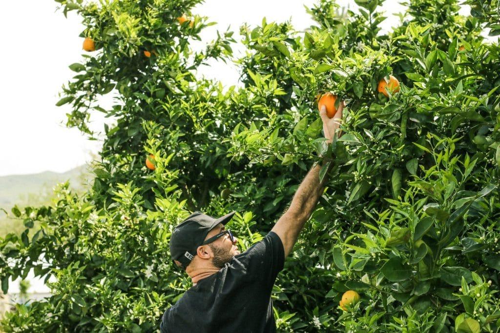 Orangenernte 1024x683