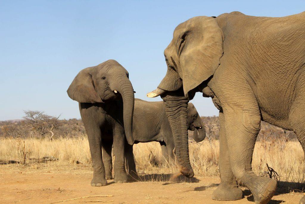 Safari Südafrika Elefant 2 1024x683
